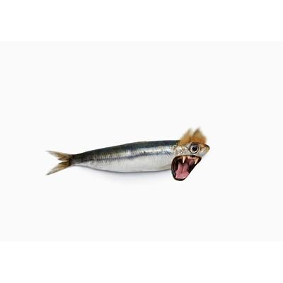 Lion-Sardine